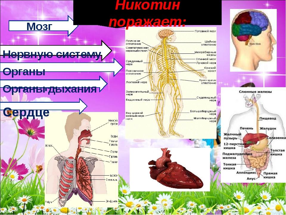 Мозг Нервную систему Органы пищеварения Органы дыхания Сердце Никотин поража...