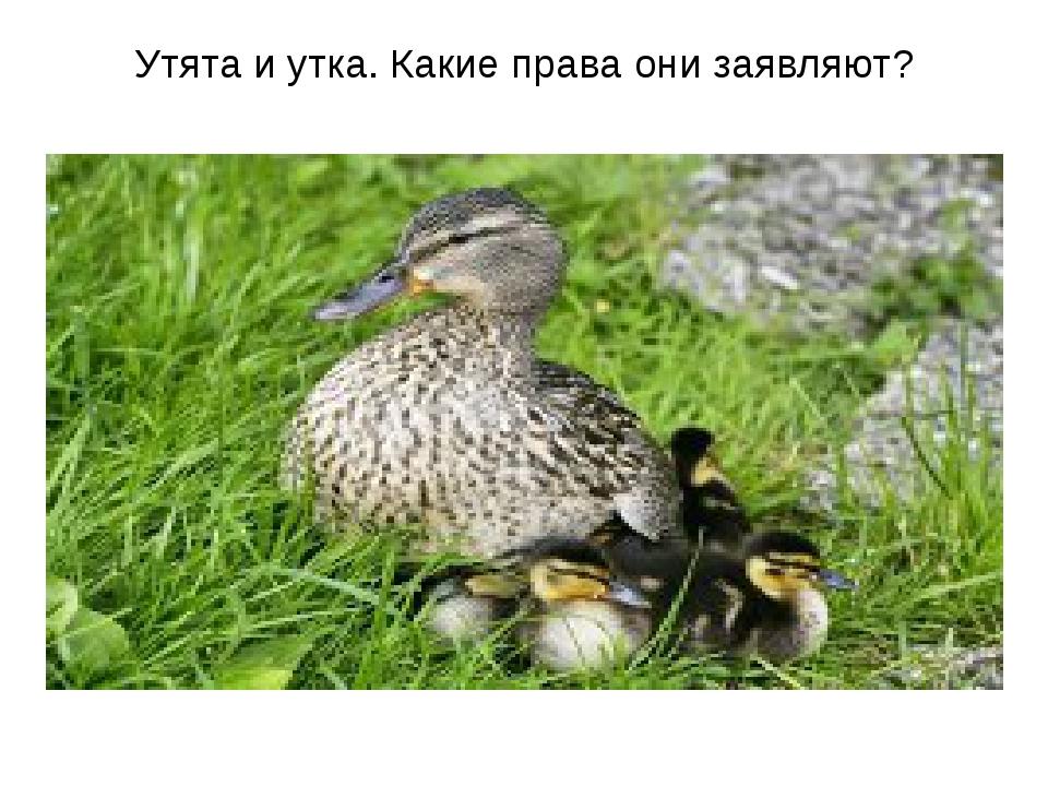 Утята и утка. Какие права они заявляют?