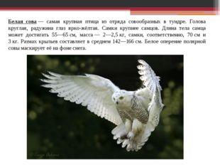 Белая сова— самая крупная птица из отряда совообразных в тундре. Голова круг