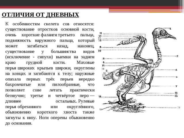 ОТЛИЧИЯ ОТ ДНЕВНЫХ К особенностям скелета сов относятся: существование отрост...