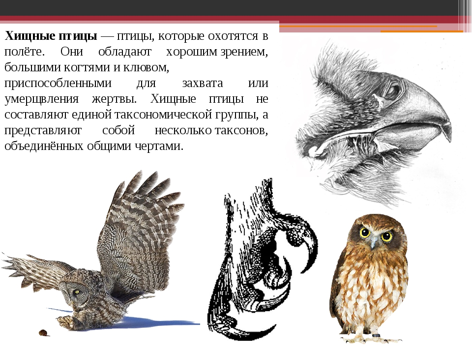 Хищные птицы—птицы, которые охотятся в полёте. Они обладают хорошимзрением...