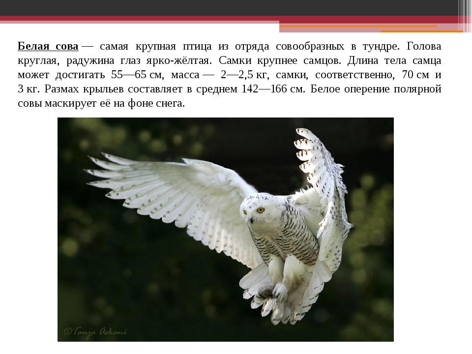Белая сова— самая крупная птица из отряда совообразных в тундре. Голова круг...
