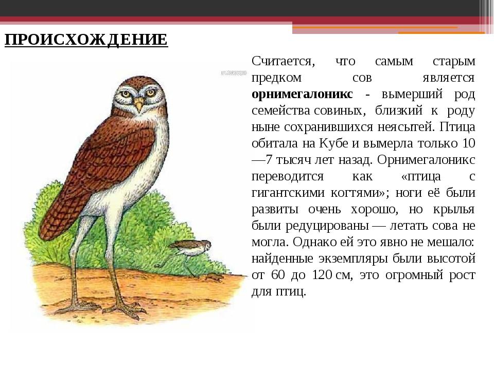 Считается, что самым старым предком сов является орнимегалоникс - вымерший ро...