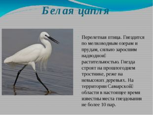 Белая цапля Перелетная птица. Гнездится по мелководным озерам и прудам, сильн