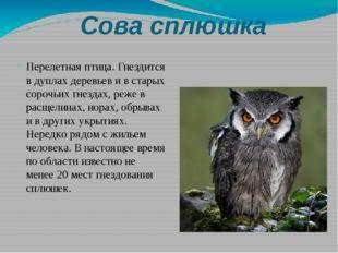 Сова сплюшка Перелетная птица. Гнездится в дуплах деревьев и в старых сорочьи