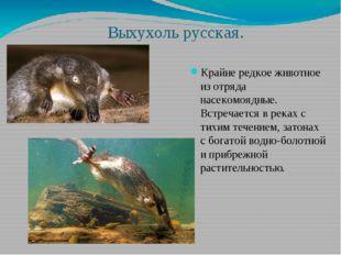 Выхухоль русская. Крайне редкое животное из отряда насекомоядные. Встречается
