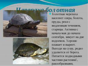 Черепаха болотная Болотная черепаха населяет озера, болота, пруды, реки с мед