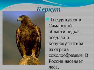 Беркут Гнездящаяся в Самарской области редкая оседлая и кочующая птица из отр