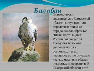 Балобан Эпизодически гнездящаяся в Самарской области кочующая или перелётная