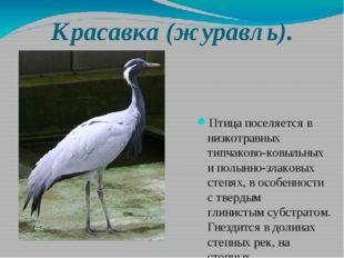 Красавка (журавль). Птица поселяется в низкотравных типчаково-ковыльных и пол