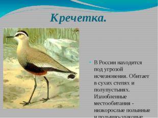 Кречетка. В России находится под угрозой исчезновения. Обитает в сухих степях