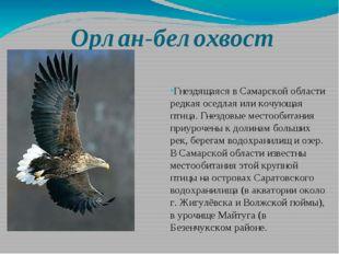 Орлан-белохвост Гнездящаяся в Самарской области редкая оседлая или кочующая п