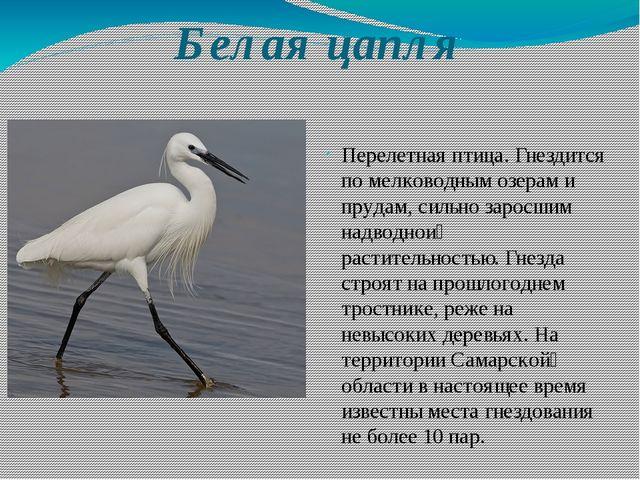 Белая цапля Перелетная птица. Гнездится по мелководным озерам и прудам, сильн...