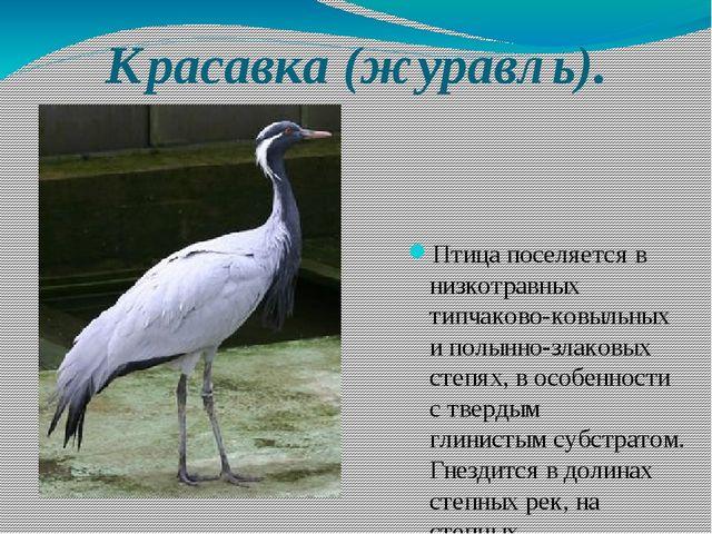 Красавка (журавль). Птица поселяется в низкотравных типчаково-ковыльных и пол...