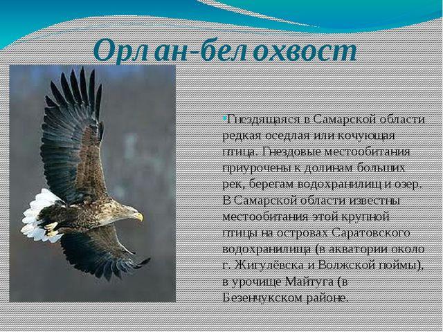 Орлан-белохвост Гнездящаяся в Самарской области редкая оседлая или кочующая п...