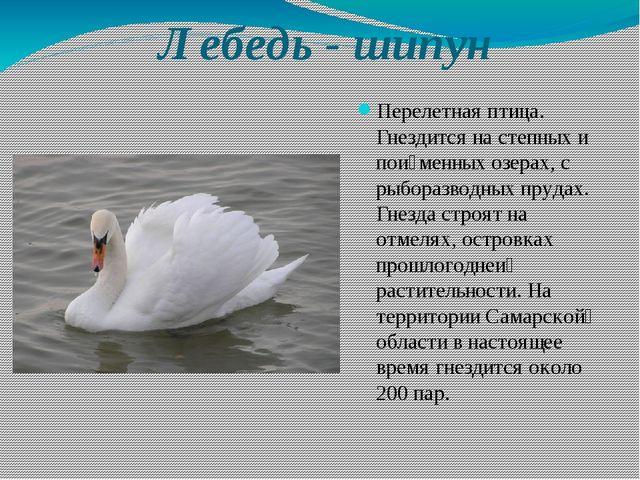 Лебедь - шипун Перелетная птица. Гнездится на степных и пойменных озерах, с...