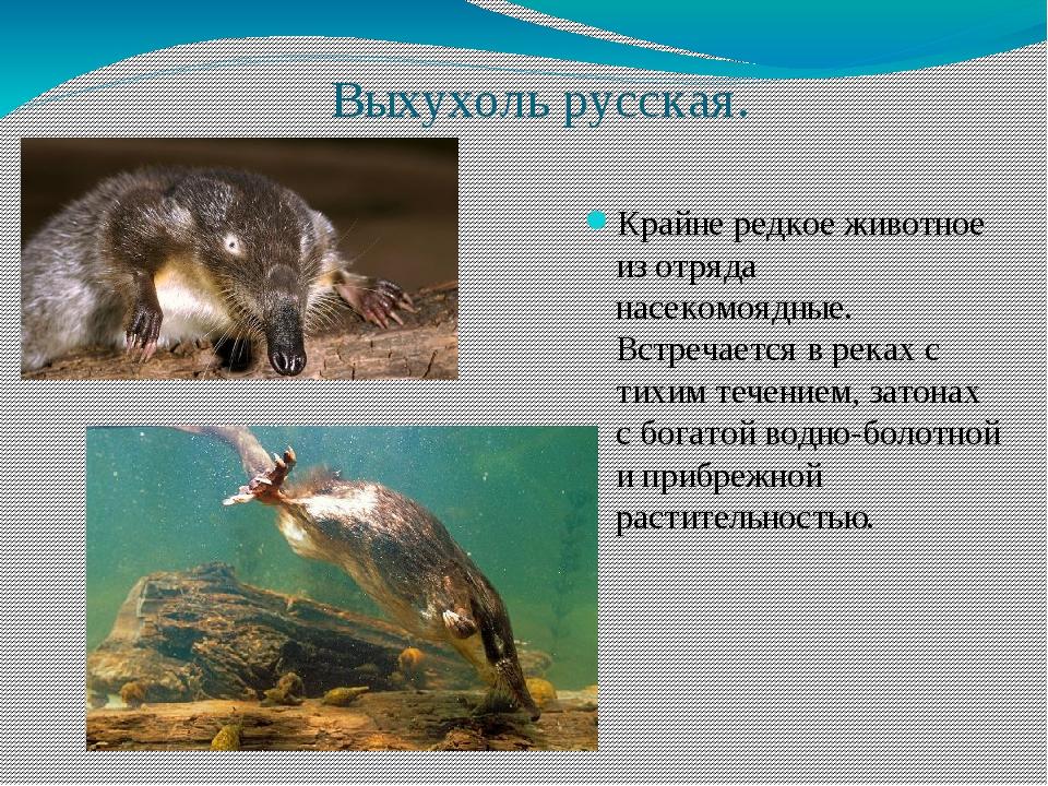 Выхухоль русская. Крайне редкое животное из отряда насекомоядные. Встречается...