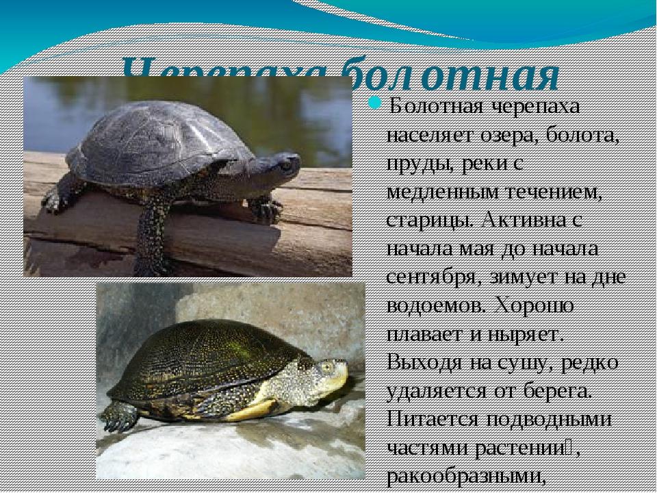 Черепаха болотная Болотная черепаха населяет озера, болота, пруды, реки с мед...