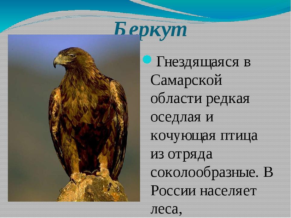Беркут Гнездящаяся в Самарской области редкая оседлая и кочующая птица из отр...