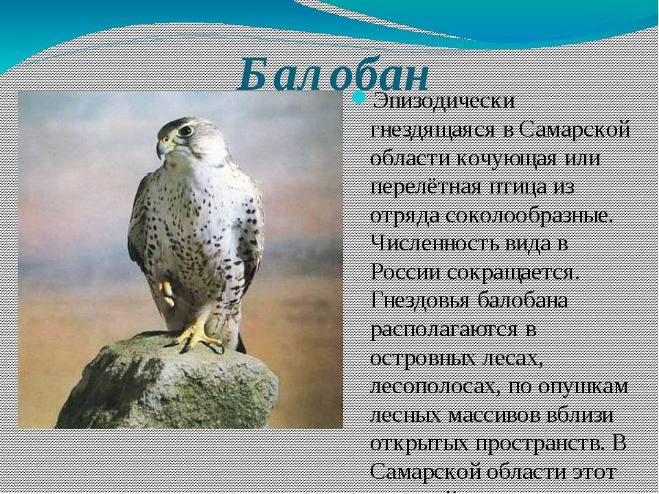 Балобан Эпизодически гнездящаяся в Самарской области кочующая или перелётная...