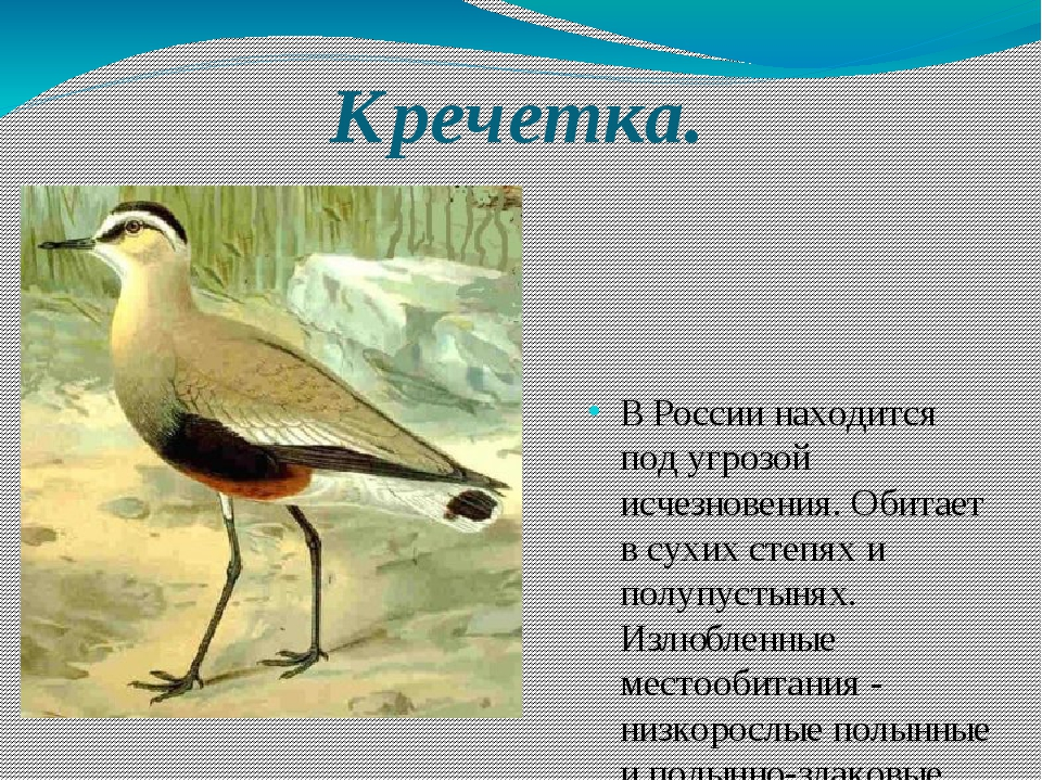 Кречетка. В России находится под угрозой исчезновения. Обитает в сухих степях...