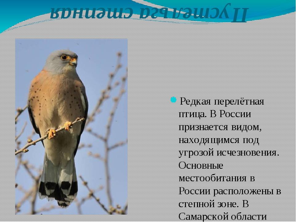 Пустельга степная Редкая перелётная птица. В России признается видом, находя...