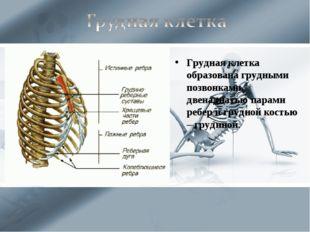 Грудная клетка образована грудными позвонками, двенадцатью парами ребер и гру