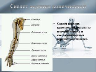 Скелет верхних конечностей состоит из плечевого пояса и скелета свободных вер