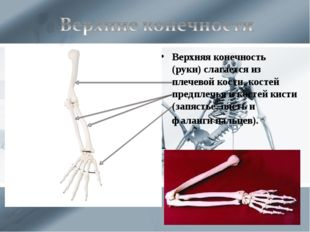 Верхняя конечность (руки) слагается из плечевой кости, костей предплечья и ко