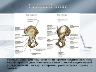 Тазовый пояс, или таз, состоит из прочно соединенных трех костей: крестца, д