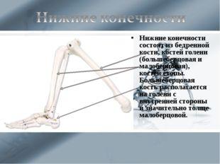 Нижние конечности состоят из бедренной кости, костей голени (большеберцовая и