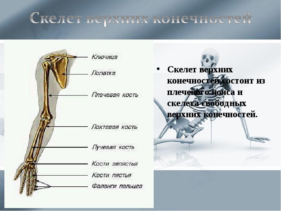 Скелет верхних конечностей состоит из плечевого пояса и скелета свободных вер...