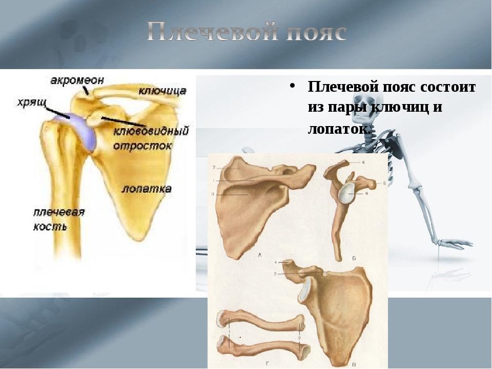 Плечевой пояс состоит из пары ключиц и лопаток.
