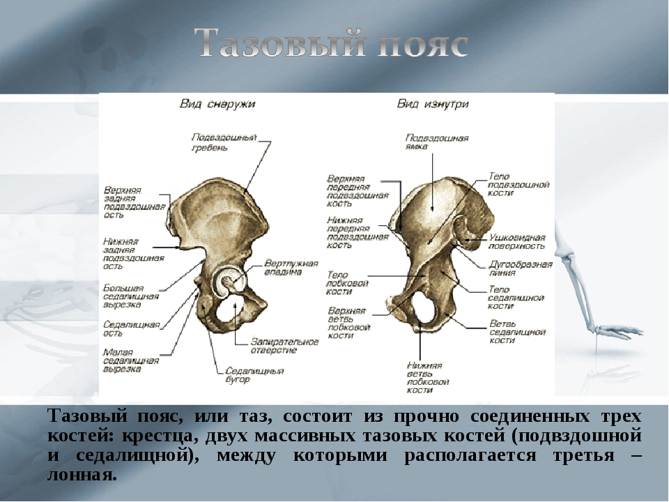 Тазовый пояс, или таз, состоит из прочно соединенных трех костей: крестца, д...