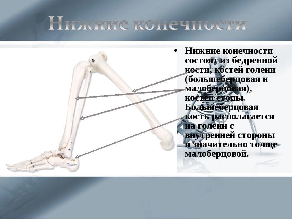 Нижние конечности состоят из бедренной кости, костей голени (большеберцовая и...