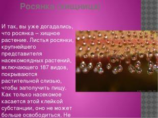 Росянка (хищница) И так, вы уже догадались, что росянка – хищное растение. Ли