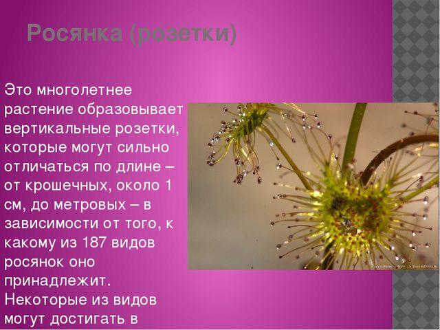 Росянка (розетки) Это многолетнее растение образовывает вертикальные розетки,...