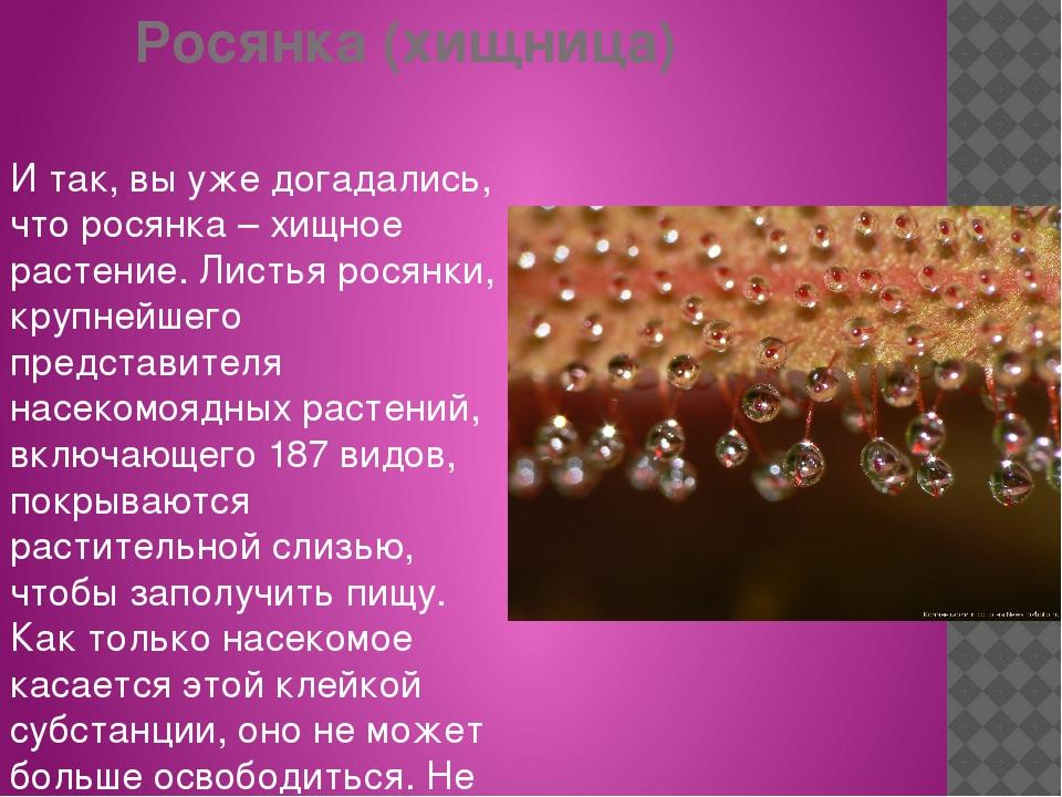Росянка (хищница) И так, вы уже догадались, что росянка – хищное растение. Ли...