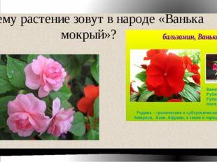 Почему растение зовут в народе «Ванька мокрый»?