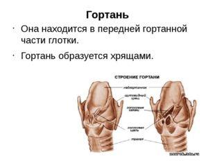 Гортань Она находится в передней гортанной части глотки. Гортань образуется х