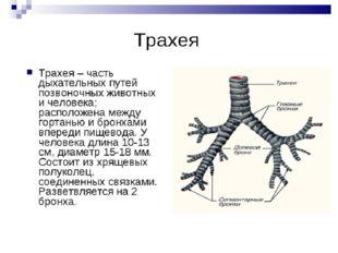 Трахея Она является продолжением гортани. Разделяется на два бронха: левый и