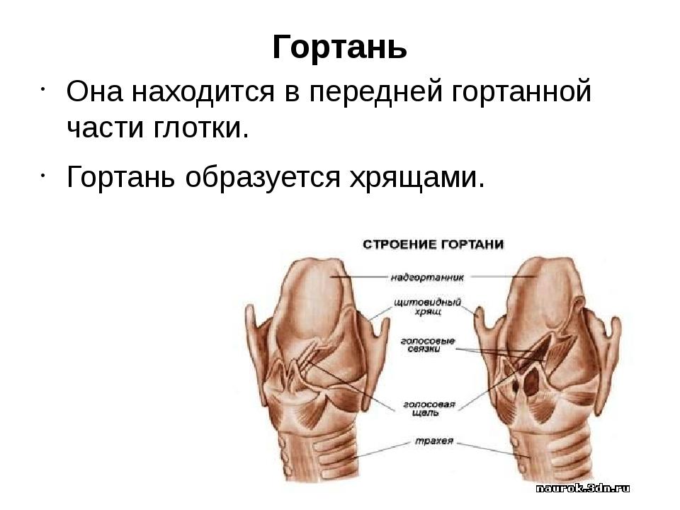 Гортань Она находится в передней гортанной части глотки. Гортань образуется х...