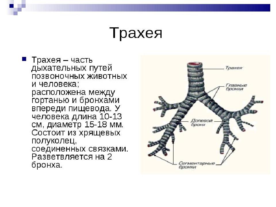 Трахея Она является продолжением гортани. Разделяется на два бронха: левый и...