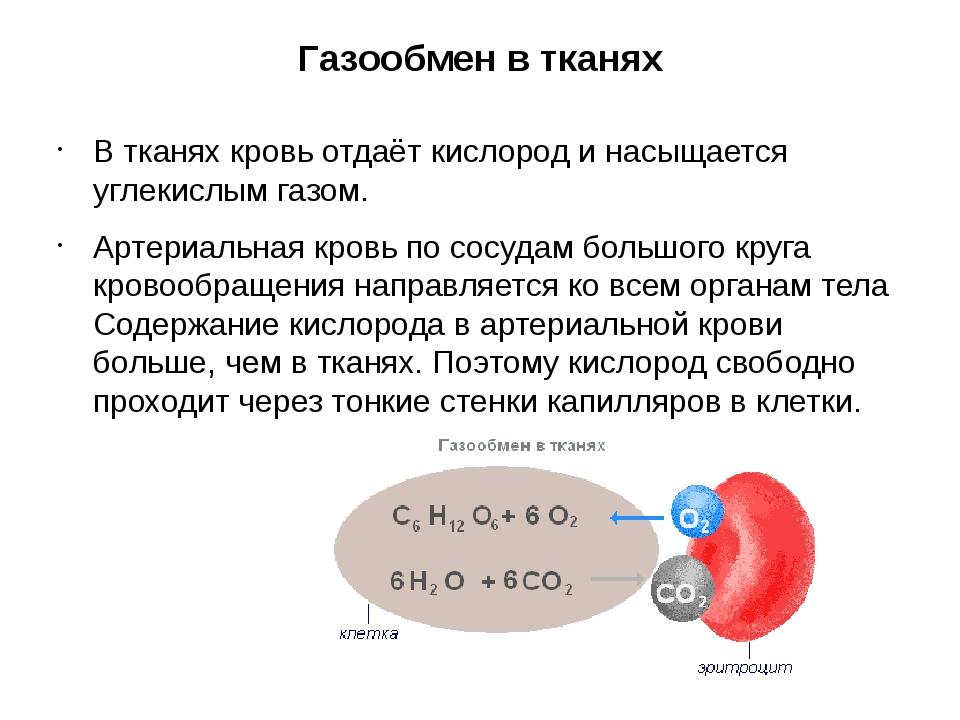 Газообмен в тканях В тканях кровь отдаёт кислород и насыщается углекислым газ...