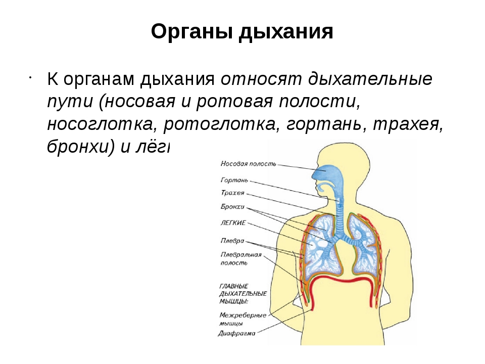 Органы дыхания К органам дыхания относят дыхательные пути (носовая и ротовая...