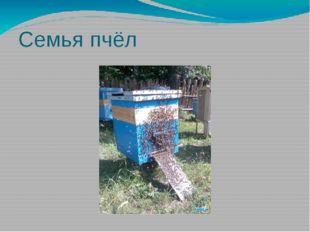 Семья пчёл