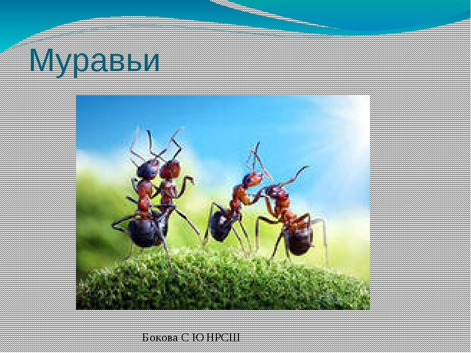 Муравьи Бокова С Ю НРСШ