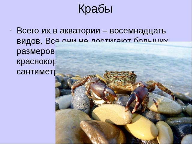 Крабы Всего их в акватории – восемнадцать видов. Все они не достигают больших...