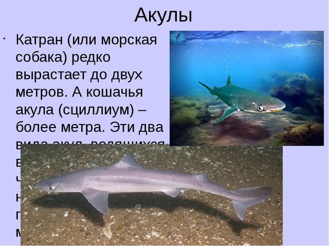 Акулы Катран (или морская собака) редко вырастает до двух метров. А кошачья а...