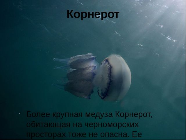 Корнерот Более крупная медуза Корнерот, обитающая на черноморских просторах т...